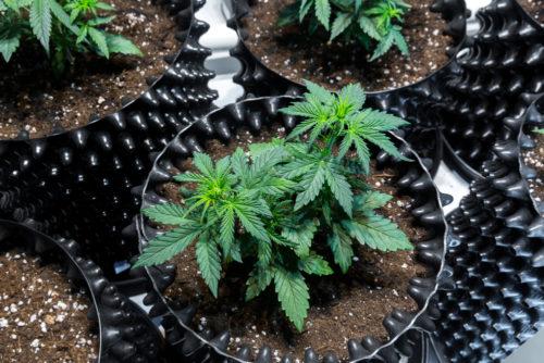 Strafbarkeit des Anbaus von Cannabis zur Eigennutzung bei Schmerzpatienten