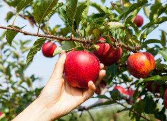 Mundraub - Obst von fremden Bäumen